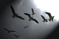 Sea Gulls Silhouetted on Dark Sky Royalty Free Stock Image