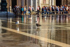 Sea gulls sitting in a puddle on Piazza San Marco Stock Images