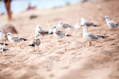 Sea gulls standing on a sandy beach close up Royalty Free Stock Photo