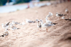 Sea gulls standing on a sandy beach Stock Images