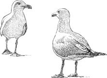 Sea gulls. Vector drawing of the big gulls on a coast Stock Photography