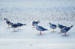 Sea gulls at water Royalty Free Stock Photos