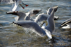 Sea gulls in a water Royalty Free Stock Images