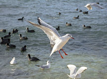 The sea gulls. Which flies over surface of the sea Royalty Free Stock Photo