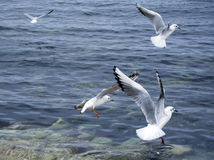 The sea gulls Stock Photos