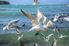 The sea gulls. Which flies over surface of the sea Stock Photography