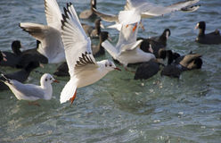 The sea gulls. Which flies over surface of the sea Stock Images