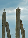 Sea gulls on the wooden pillars by the Baltic Sea Stock Photo
