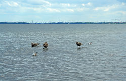Sea gulls on the wooden pillars covered by water Stock Photography