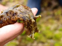 A sea hare Stock Photo