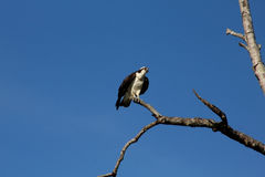 Sea hawk sitting on tree branch. Royalty Free Stock Images