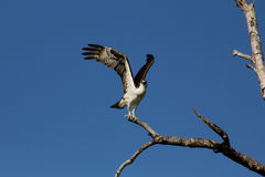 Sea hawk about to take off royalty free stock image