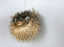 Sea-hedgehog Stock Photos