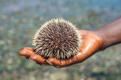 Sea hedgehog lays on a man's hand Royalty Free Stock Photography