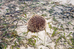 Sea hedgehog lays on a sand Stock Photography
