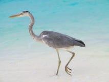Sea heron on the beach Royalty Free Stock Photo