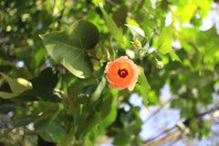 Sea hibiscus Stock Images