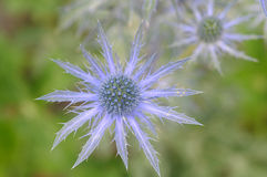 Sea Holly Royalty Free Stock Photos