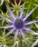 Sea Holly. Prickly leaves and flower of Eryngium or Sea Holly royalty free stock photography