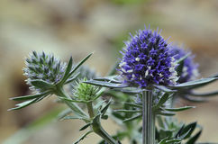 Sea Holly Blue Eryngo Stock Images
