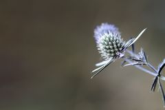 Sea holly blue with space for text Stock Photo