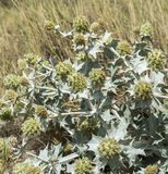 Sea Holly, Eryngium maritimum. Close-up of Sea Holly, Eryngium maritimum, growing on the dunes. It is a species in the Apiaceae family native to most European Stock Images