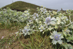 Sea Holly. Eryngium maritimum Prickly Flower of Sea Shore stock image