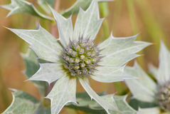 Sea Holly flower Stock Photo