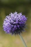 Sea holly flower Royalty Free Stock Photos
