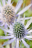Sea Holly flower Closeup Royalty Free Stock Images