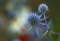 Sea Holly Flowers. Eryngium planum, used for everlasting flowers, European, Asian native Royalty Free Stock Photography
