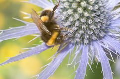 Sea Holly with large bumble bee close up Stock Photos