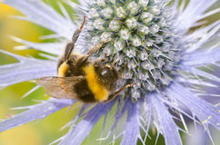 Sea Holly with large bumble bee close up Stock Image