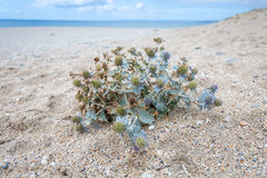 Sea holly on loe beach Stock Photography