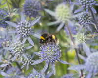 Sea Holly Stock Photo