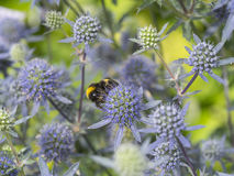 Sea Holly Stock Photos