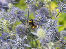 Sea Holly Royalty Free Stock Images