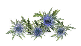 Sea holly thistles Stock Images
