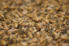 Sea of honey Bees Royalty Free Stock Photos