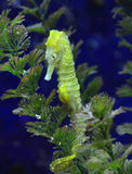 Sea Horse. A yellow white striped sea horse Stock Photography