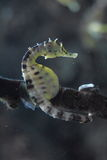 Sea horse. On a coral reef royalty free stock images
