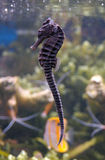 Sea Horse Royalty Free Stock Photo