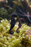 Sea Horse royalty free stock photography