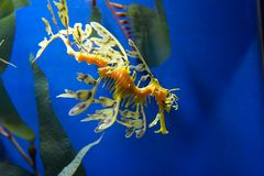 Sea horse. Sea dragon in a fish tank Royalty Free Stock Image