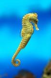 Sea-horse amarillo Fotografía de archivo libre de regalías
