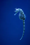 Sea horse in the blue. Background stock image