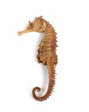 Sea Horse (with clipping path). Sea horse on white background royalty free stock images