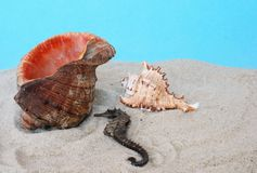 Sea-horse and conch Royalty Free Stock Image