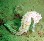 Sea Horse in the Coral Reef Stock Image