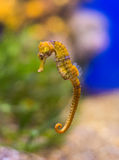 Sea horse. Sea horse in the depths of the sea royalty free stock photography